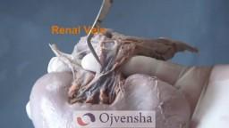 Demonstration of Kidne