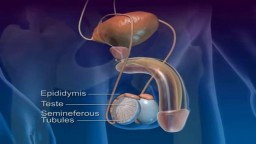 Creation and Pathway of Sperm During Ejaculation