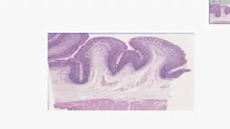 Histology of Gastric Fundus