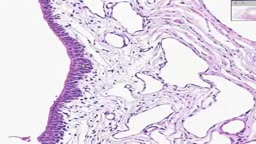 Histology of Female Urethra