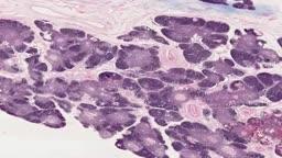 Histology of Thymus