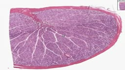 Histology of Testis
