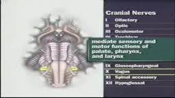 Cranial nerves IX, X, XI & XII