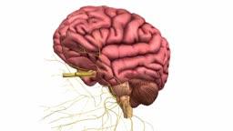 Cranial Nerves Anatomy