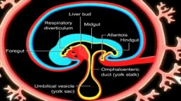 The development of the gastrointestinal tract