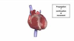 Cardiac conduction system and ECG
